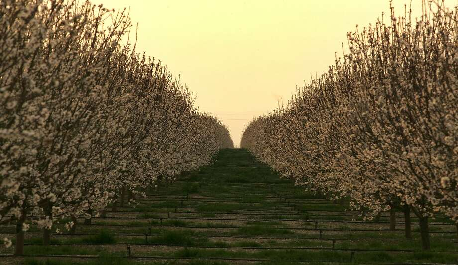 An almond orchard in Lost Hills is among the properties of the Resnicks' Paramount Farms - which grows and processes almonds and pistachios. Photo: Gary Kazanjian, SFC