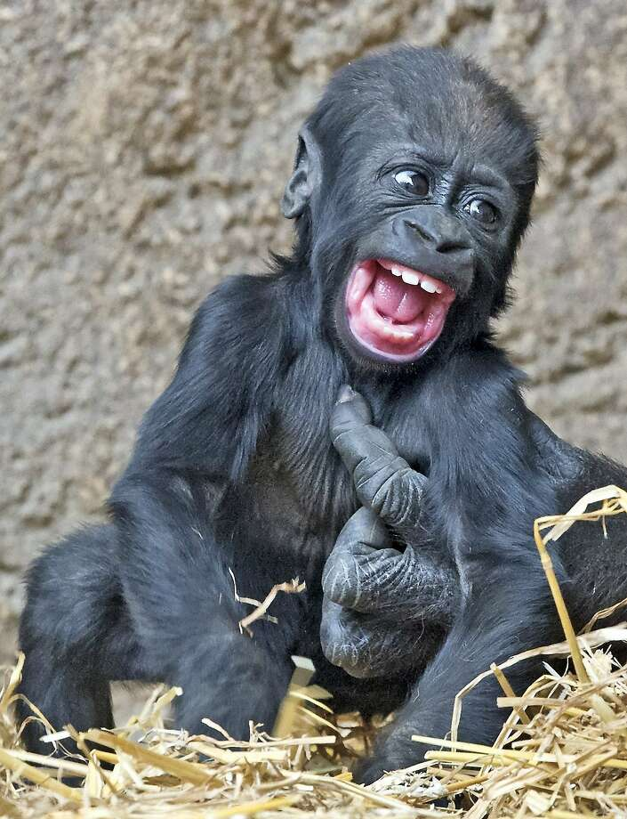 What big hands you have!Four-month-old baby gorilla Jengo gets a tickle from female adult gorilla Kumili at the zoo in Leipzig, Germany. Photo: Jens Meyer, Associated Press