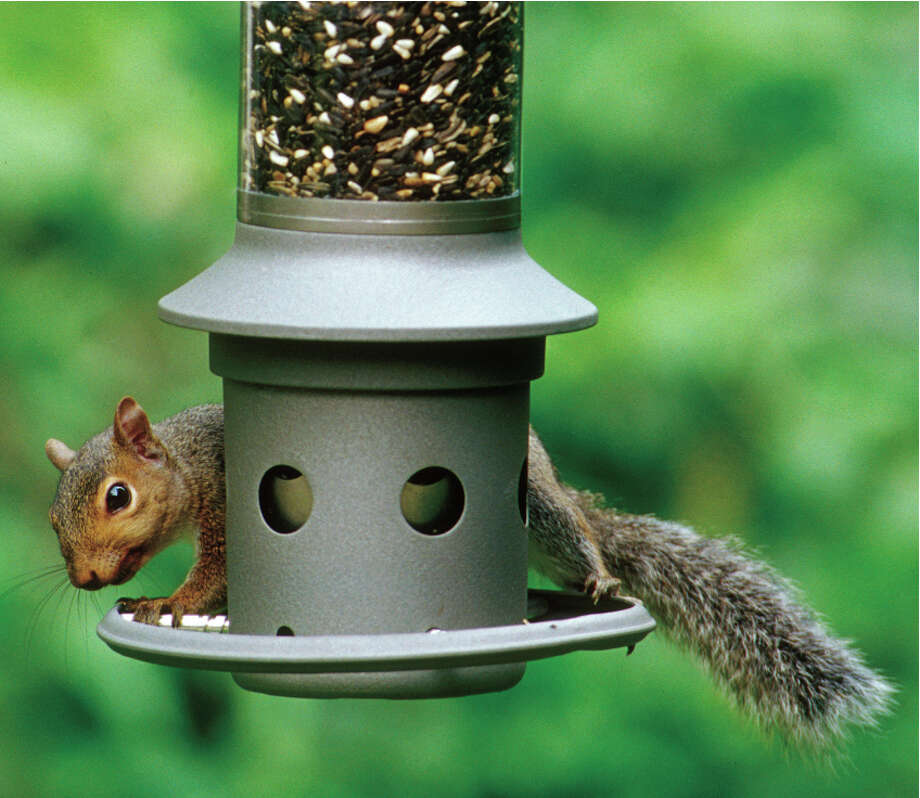 This photo provided by Wild Birds Unlimited shows a squirrel attempting to eat bird seed on an Eliminator, a squirrel-proof bird feeder. It protects your bird seed from persistent squirrels by technology registering sensitivity set by the owner, that closes the seed ports based on weight of the intruder standing on the perch ring. (AP Photo/Wild Birds Unlimited) ORG XMIT: NYLS126 / Wild Birds Unlimited