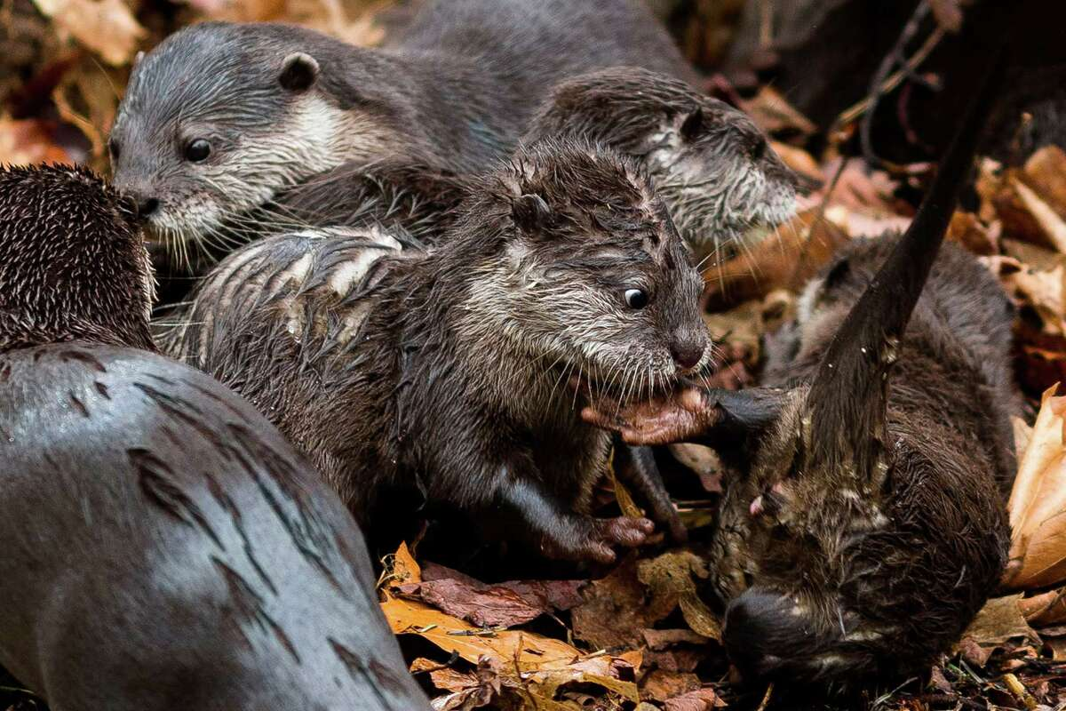 Four Asian small-clawed otter pups, born in January, join their family to play, tumble and tussle at their public debut Thursday, April 24, 2014, at Woodland Park Zoo in Seattle.