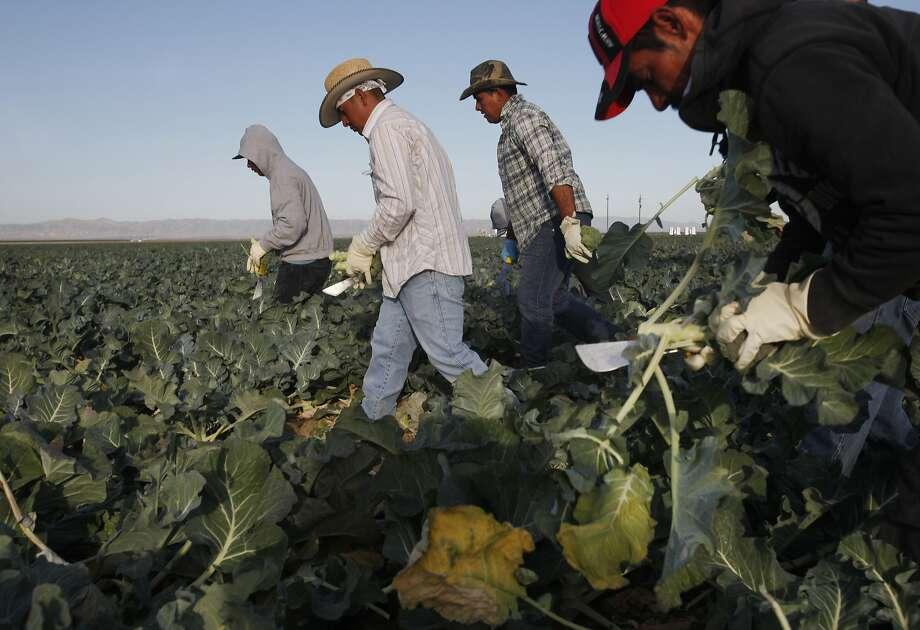 "From left, Louis Cornejo, Nelson Villanueva, Miguel Hernandez and Oscar Reyes Ayalla cut heads of broccoli while harvesting from a block on Pappas & Co farm April 18, 2014 in Mendota, Calif. The historic drought combined with zero percent water allocation for farmers in the San Joaquin Valley means that many farmers are fallowing fields and many field workers are unemployed. In Mendota, a rural city of about 11,000 people about 35 miles west of Fresno, the jobless rate is 36 percent. Mayor Robert Silva is concerned that this summer it may reach as high as 50 percent. Jose Pineda Rivas, 61, came to the United States in 1988 and was joined by his wife 3 years ago. They left five children behind in El Salvador, who they send money to every month. Both Rivas and his wife work in the fields for their income. Right now neither of them have been able to find steady work and the stress is taking its toll. Rivas has been having trouble sleeping and eating due to a constantly upset stomach and a toothache he cannot afford to repair. ""Our biggest worry is that tomorrow there is not going to be a job,"" said Rivas in Spanish through a translator. Though there are still precious few jobs this year in the fields, the streets of Mendota, which are usually empty in the middle of the day, are now haunted by people drifting up and down 7th Street, looking for work. Others families have already left to find work elsewhere. The schools have noticed a drop in attendance due to migration, 33 students have left with their families so far this year. Photo: Leah Millis, San Francisco Chronicle"