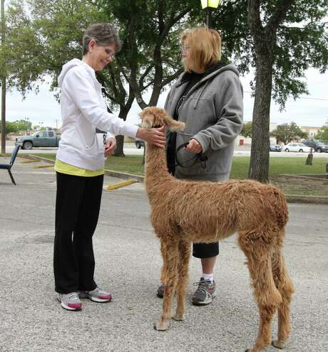 Lynn Coley (left) and Susan Leslie visit with a young llama from Leslie Lane Llamas of La Vernia. Photo: Forrest M. Mims III / For The Express-News / ALL RIGHTS RESERVED.