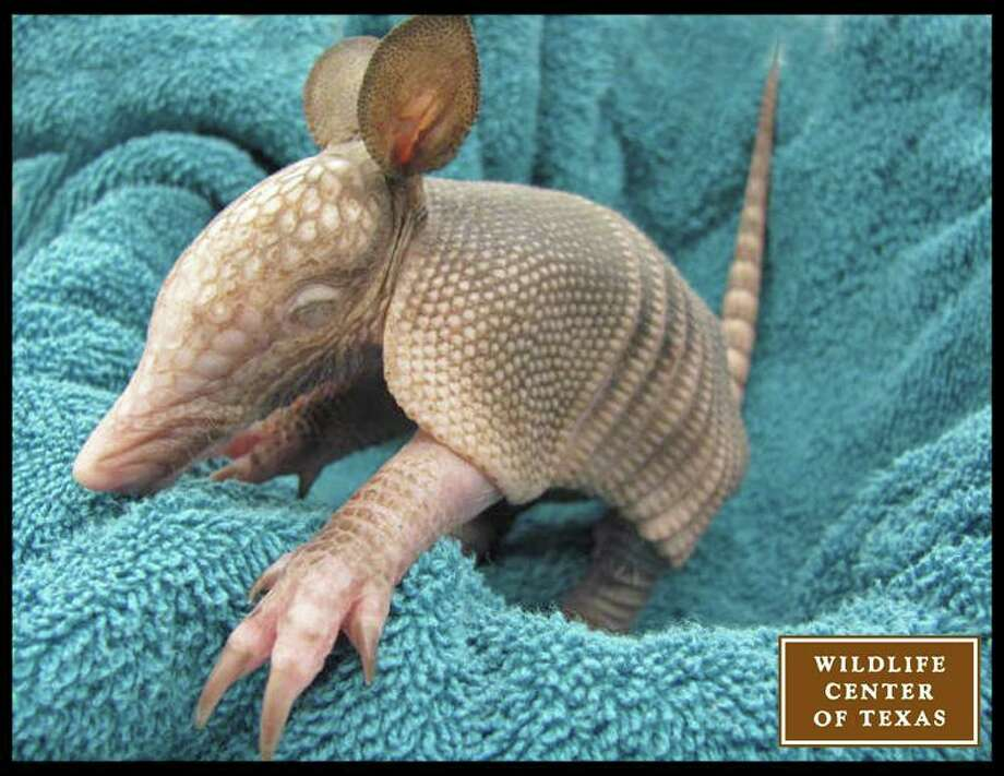 This baby armadillo, the center's first of the season, was found between two houses in a yard. The family that brought it in thought the wounds on its back might have been caused by a weedeater.   (Photo posted April 23) Photo: Wildlife Center Of Texas