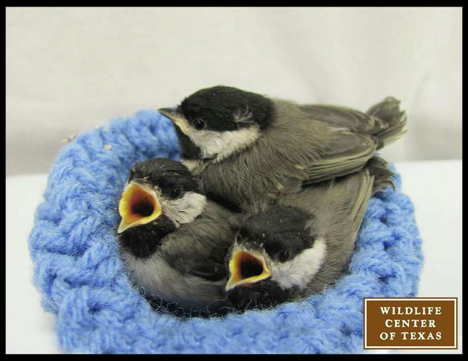 These chickadees came to the center over Easter weekend.   (Photo posted April 19) Photo: Wildlife Center Of Texas
