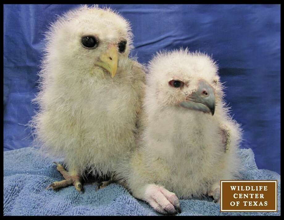 These owlets, a barred owl on the left and a great horned owl on the right, will be raised with other owls and released back into the wild.   (Photo posted on March 3) Photo: Wildlife Center Of Texas