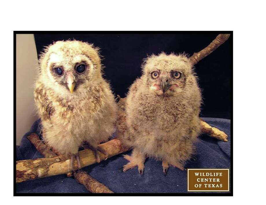 The two owlets a bit older, a barred owl on the left and a great horned owl on the right.   (Photo posted on March 14) Photo: Wildlife Center Of Texas