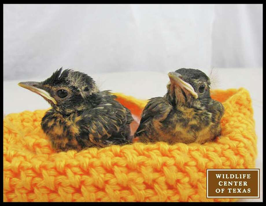Babies like these robins serenade the other animals at the wildlife center.   (Photo posted April 12) Photo: Wildlife Center Of Texas