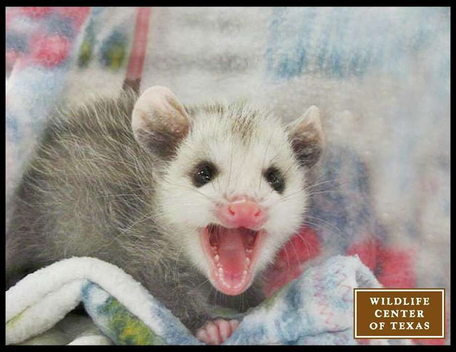 Baby opossums like this one are often knocked off of their mother's back or fall out of her pouch while she is moving around.   (Photo posted March 26) Photo: Wildlife Center Of Texas