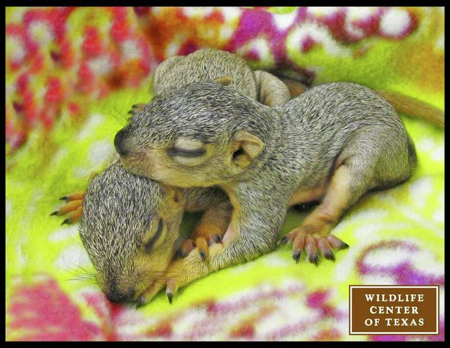 Two baby Eastern fox squirrels.   (Photo posted Feb. 11) Photo: Wildlife Center Of Texas