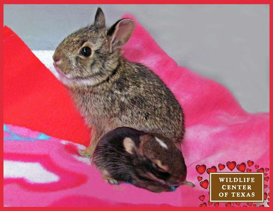 These baby cottontail rabbits were at the center in February to wish everyone a happy Valentine's Day.   (Photo posted on Feb. 14.) Photo: Wildlife Center Of Texas