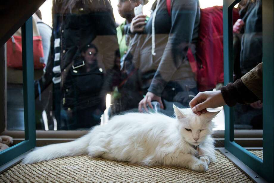 "NEW YORK, NY - APRIL 24:  A person pets a cat in the pop-up shop ""Cat Cafe"" as others wait in line on April 24, 2014 in New York City. The cafe, which has been created Purina One cat food, serves complimentary coffee and bakery items, and has a variety cats roaming throughout the space that visitors can adopt.  (Photo by Andrew Burton/Getty Images) ORG XMIT: 486800675 Photo: Andrew Burton, Getty / 2014 Getty Images"