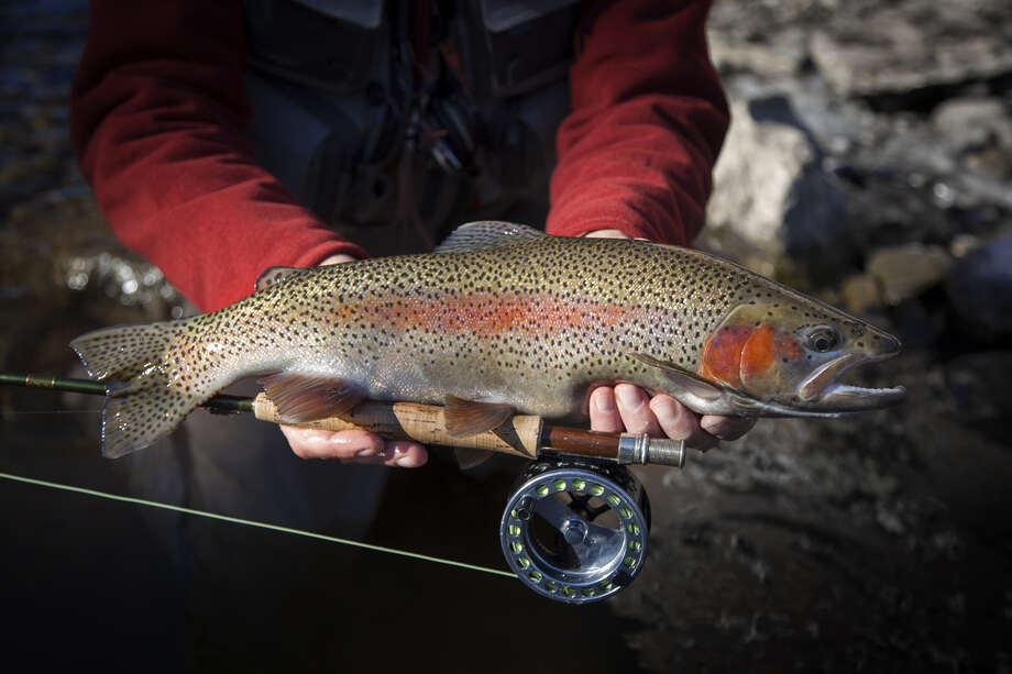 39 tis the season to fish for rainbow trout houston chronicle for Trout fishing season