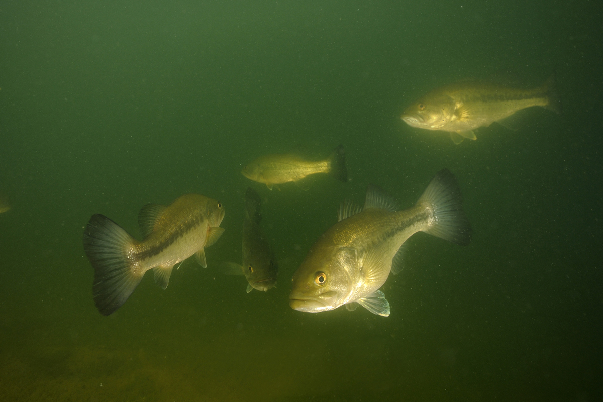 Lake houston stocked with more largemouth bass houston for Fishing in houston