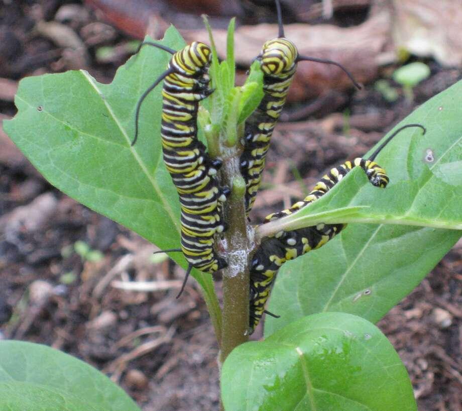 Milkweed is  the food of choice for Monarch caterpillars. Shown are Monarch caterpillars dining on milkweed.