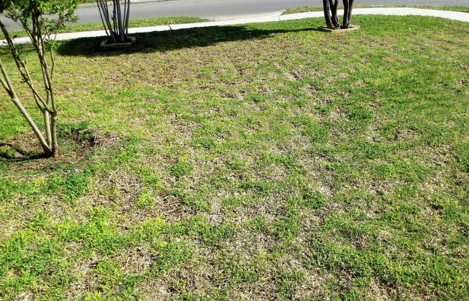 Dead patches in St. Augustine grass likely are caused by a fungus called Take-all Root Rot. Photo: Courtesy Photo
