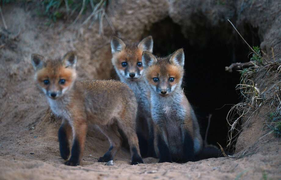 It's scary out here: A trio of wild fox cubs cautiously exit their den near a farm road in Northampton County, Va. Photo: Jay Diem, Associated Press