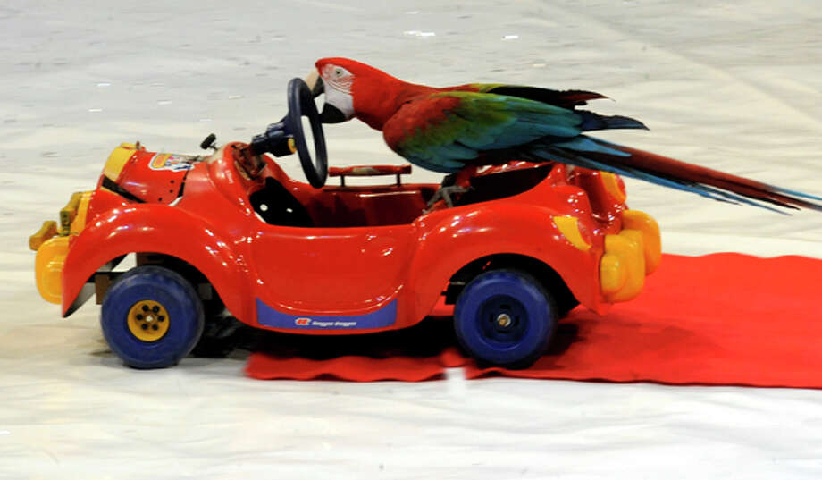 I once saw a guy in traffic on 290 with a parrot on the steering wheel. I'm still not sure who was driving, him or the bird. Photo: MICHAL CIZEK, AFP/Getty Images / 2011 AFP