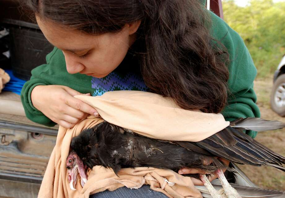 Yurok Tribe microbiologist Tiana Williams holds a turkey vulture in 2009 that was tested for lead poisoning to assess the threat in the habitat to condors. Photo: Jeff Barnard, Associated Press