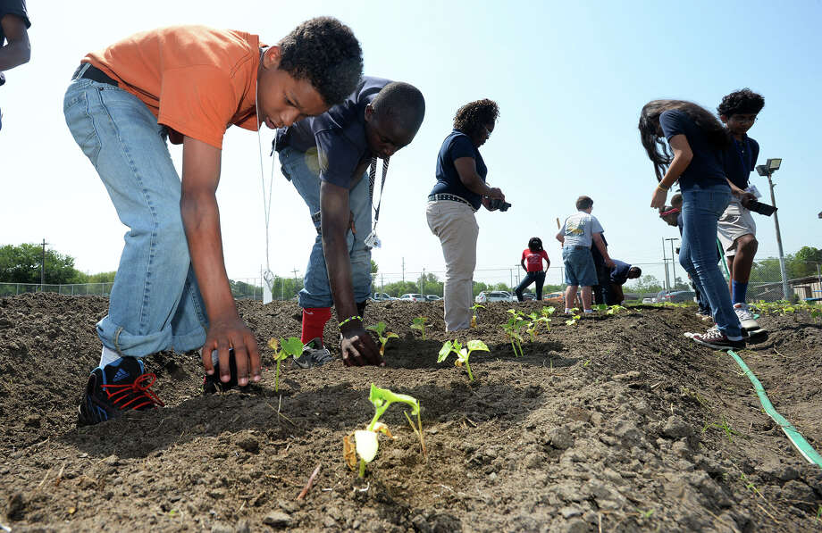 Odom Academy's student plant cucumber buds at the student garden on Friday. Photo taken Friday, April 25, 2014 Guiseppe Barranco/@spotnewsshooter Photo: Guiseppe Barranco, Photo Editor