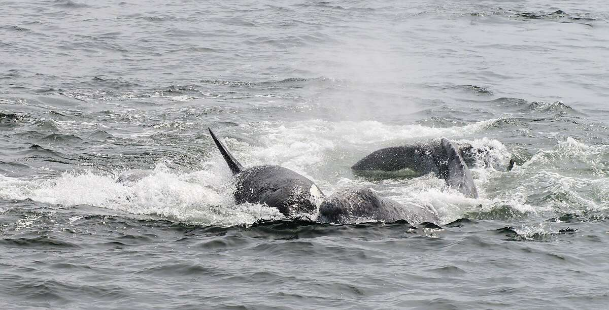 Pods of orcas, also called killer whales, in full-on attack to separate baby gray whales (a calf) from its mother in Monterey Bay