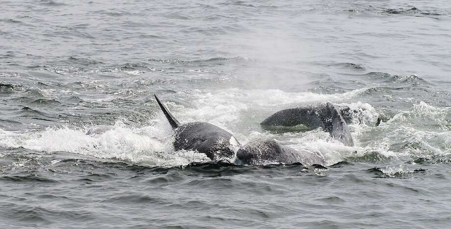 A pack of orcas made a series of prolonged assaults, coming in wave after wave, to separate a mother whale from her calf. They finally succeeded in killing the calf. Photo: Bart Selby