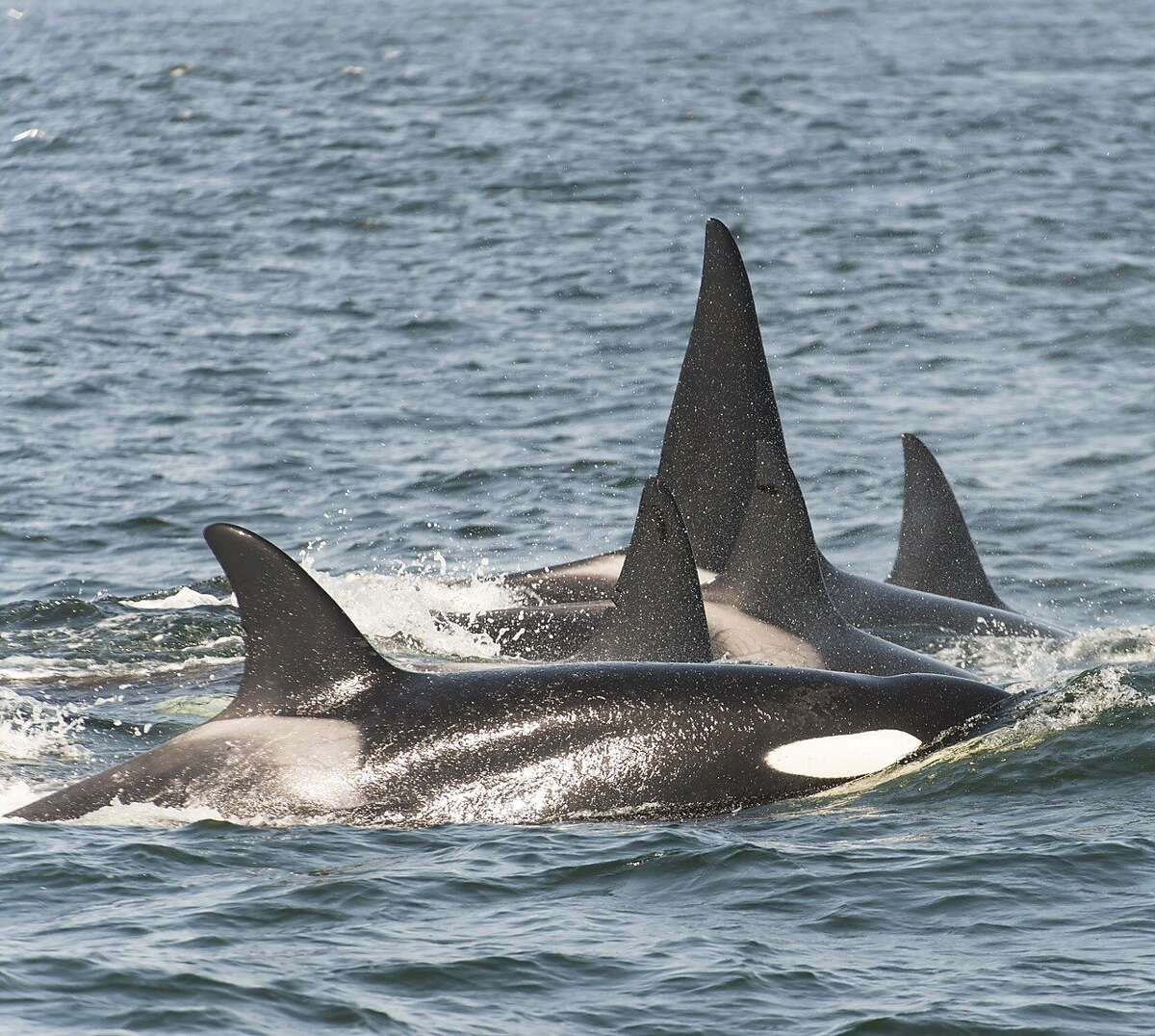 Pod of orcas attacked whales, trying to separate calf from mother,