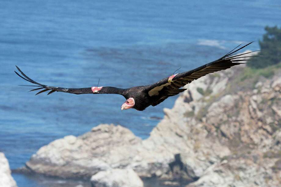 The sight of a condor in flight like this one over Big Sur, Calif., may become more common. The Yurok Tribe has signed agreements leading to the first release of captive-bred condors into the northern half of their historic range - the sparsely populated Redwood Coast of Northern California. Photo: Tim Huntington, HONS / Ventana Wildlife Society