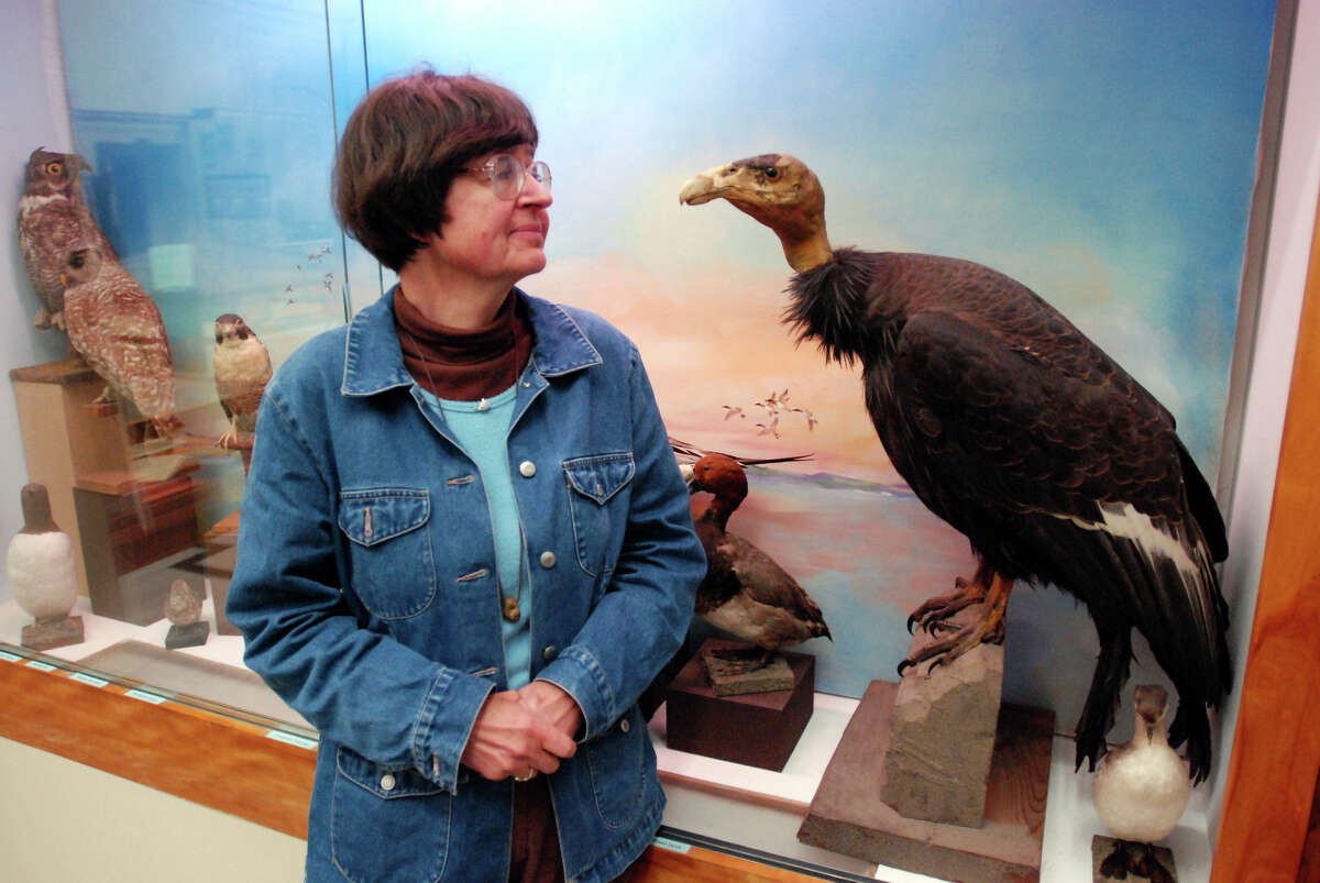 FILE - In this Aug. 5, 2009, file photo, curator Pam Service stands next to a stuffed condor, one of the last condors to fly over California's North Coast, at the Clarke Historical Museum in Eureka, Calif. The Yurok Tribe has signed agreements leading to the first release of captive-bred condors into the northern half of their historic range _ the sparsely populated Redwood Coast of Northern California. The tribe, based at the mouth of the Klamath River, has been working the past five years under a federal grant to establish whether the rare birds can survive in a place they have not lived for a century. (AP Photo/Jeff Barnard, File)