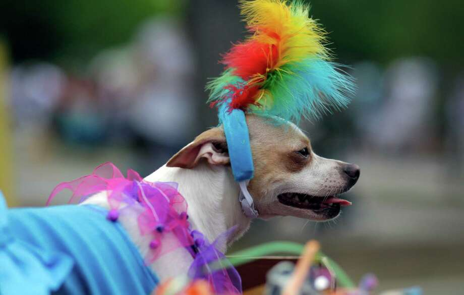 Gracie wears feathers during the Fiesta Pooch Parade and contest, Saturday, April 26, 2014, in San Antonio. The annual event is part of the Fiesta San Antonio celebration. (AP Photo/Eric Gay) Photo: Eric Gay, Associated Press / AP
