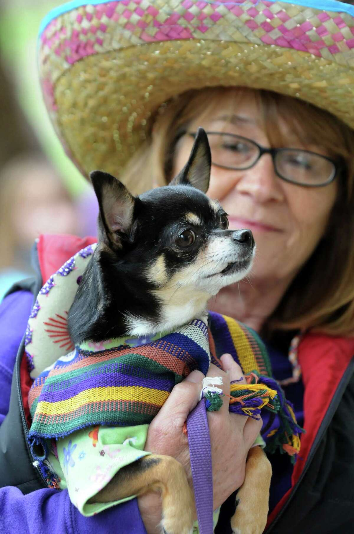 Stephanie Szegda of Ballston Spa holds Abby, a rescued Chihuahua owned by H.O.P.E. founder Wendy Mongillo, during H.O.P.E.'s Annual Walk For The Animals on Saturday, April 26, 2014, in Saratoga Springs, N.Y. Funds from the walk benefit H.O.P.E., which stands for Homes for Orphaned Pets Exist, an animal rescue and low-cost spay and neuter clinic in Wilton. (Cindy Schultz / Times Union)