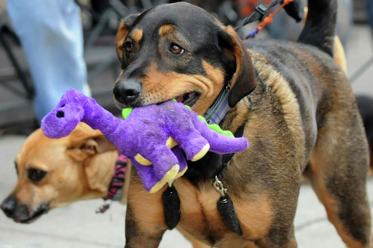 Kusher, owned by Eric Spalding of Saratoga Springs, carries his favorite squeekie during H.O.P.E.'s Annual Walk For The Animals on Saturday, April 26, 2014, in Saratoga Springs, N.Y. Funds from the walk benefit H.O.P.E., which stands for Homes for Orphaned Pets Exist, an animal rescue and low-cost spay and neuter clinic in Wilton. Read more. (Cindy Schultz / Times Union)