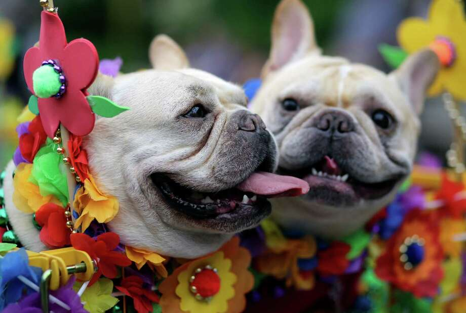 Spanky and Rocky take part in the Fiesta Pooch parade and contest, Saturday, April 26, 2014, in San Antonio. The annual event is part of the Fiesta San Antonio celebration. Photo: Eric Gay, Associated Press / AP