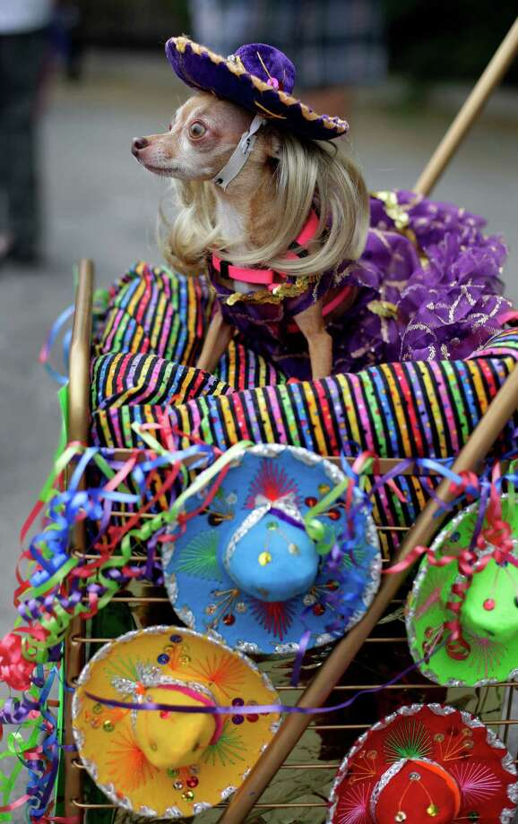 Lupita takes part in the Fiesta Pooch parade and contest, Saturday, April 26, 2014, in San Antonio. The annual event is part of the Fiesta San Antonio celebration. Photo: Eric Gay, Associated Press / AP