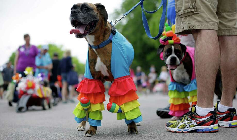 Bruno and Brandy take part in the Fiesta Pooch parade and contest, Saturday, April 26, 2014, in San Antonio. The annual event is part of the Fiesta San Antonio celebration. Photo: Eric Gay, Associated Press / AP