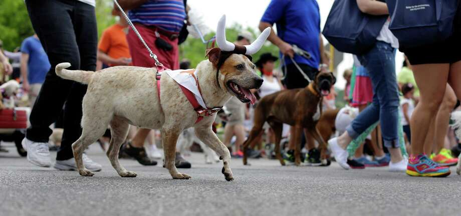 Dog owners take part in the Fiesta Pooch parade and contest, Saturday, April 26, 2014, in San Antonio. The annual event is part of the Fiesta San Antonio celebration. Photo: Eric Gay, Associated Press / AP