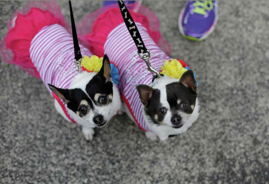 Libby and Lucy wear matching costumes as they take part in the Fiesta Pooch Parade and contest, Saturday, April 26, 2014, in San Antonio. The annual event is part of the Fiesta San Antonio celebration. Photo: Eric Gay, Associated Press / AP