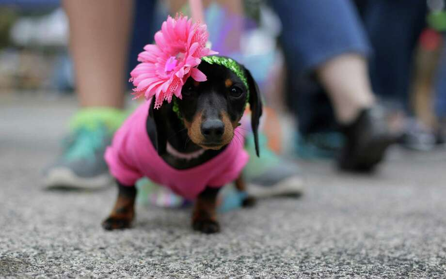 Gracie takes part the Fiesta Pooch Parade and contest, Saturday, April 26, 2014, in San Antonio. The annual event is part of the Fiesta San Antonio celebration. Photo: Eric Gay, Associated Press / AP