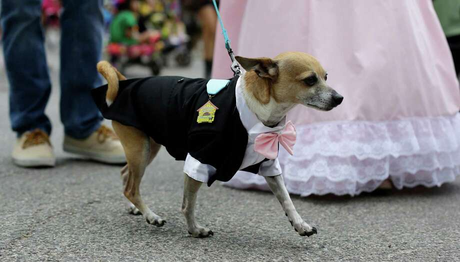 Poppie takes part in the Fiesta Pooch parade and contest, Saturday, April 26, 2014, in San Antonio. The annual event is part of the Fiesta San Antonio celebration. Photo: Eric Gay, Associated Press / AP