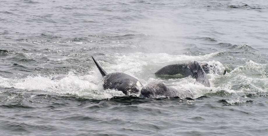 Orcas in full-on attack to separate baby gray whale from its mother Photo: Bart Selby