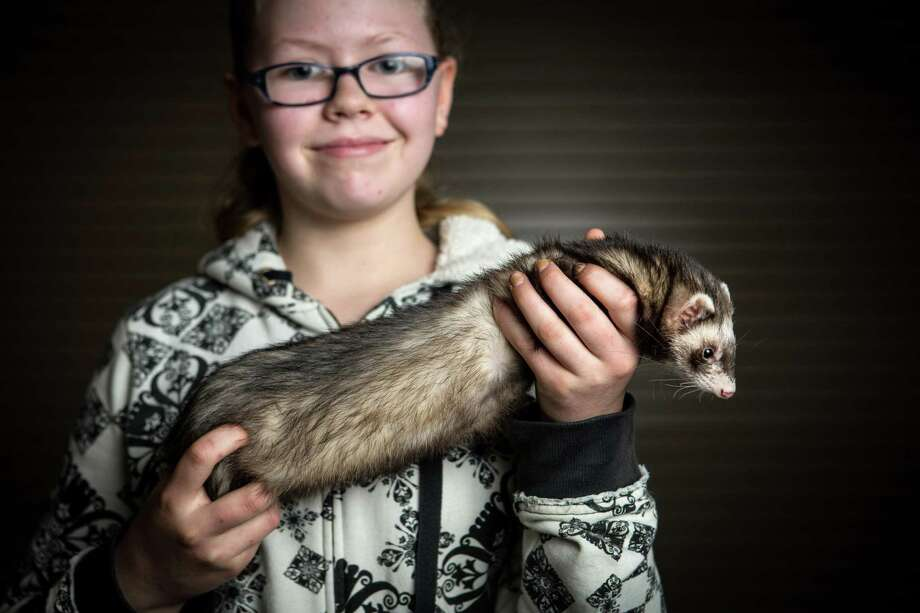 Teddy, a ferret, is held by his owner, Angelina Moore, 12. The ferret is one of many animals in her life as she lives on a farm with horses, dogs, cats, chickens and other farm animals. Photo: JOSHUA TRUJILLO, SEATTLEPI.COM / SEATTLEPI.COM