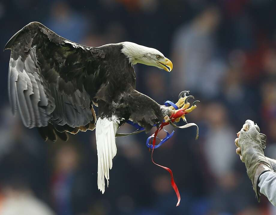 Crystal Palace's mascot Kayla, a North American Bald Eagle flies in the stadium to entertain the fans ahead of the English Premier League soccer match between Crystal Palace and Manchester City at Selhurst Park stadium in London, Sunday, April 27, 2014. (AP Photo/Kirsty Wigglesworth) Photo: Kirsty Wigglesworth, Associated Press