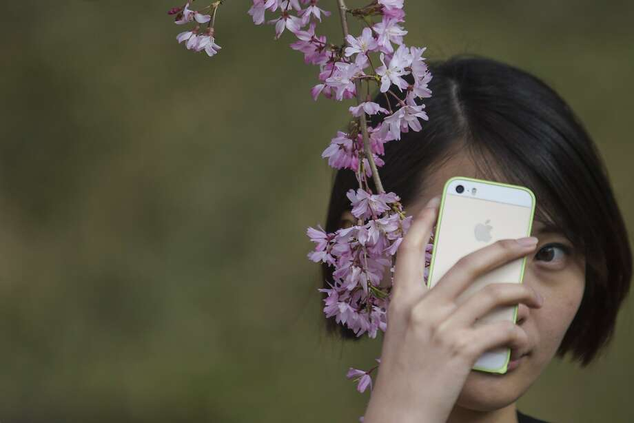 A woman takes photos with cherry blossoms at the Brooklyn Botanic Garden in the Brooklyn borough of New York, April 27, 2014. The garden boasts over three dozen varieties of cherry trees. REUTERS/Brendan McDermid (UNITED STATES - Tags: ENVIRONMENT) Photo: Brendan Mcdermid, Reuters