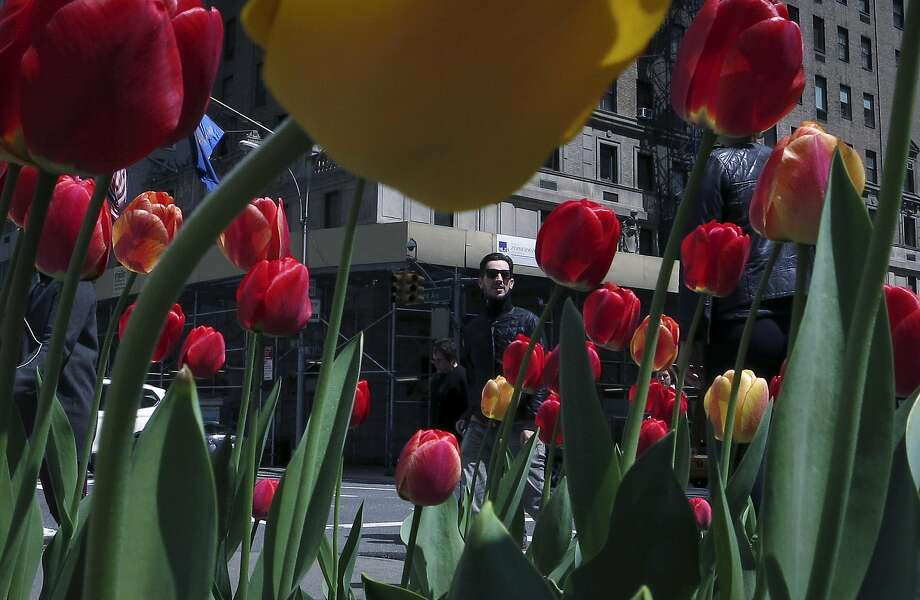 A man walks past flower beds that have been planted along Park Avenue in New York April 27, 2014.  REUTERS/Carlo Allegri (UNITED STATES - Tags: SOCIETY ENVIRONMENT) Photo: Carlo Allegri, Reuters