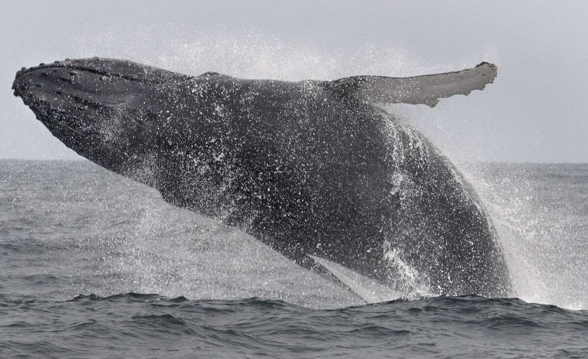 See a plethora of marine life (whales, sea lions and sharks, oh my!) near the Farallon Islands, which, for the newbies, are located 27 miles off the coast of S.F. Pictured: A whale breaches near the islands.