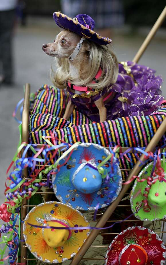 There'd better be a piñata with doggie treats: Lupita takes part in the Fiesta Pooch parade and contest in San Antonio, part of the Fiesta San Antonio celebration. Photo: Eric Gay, Associated Press