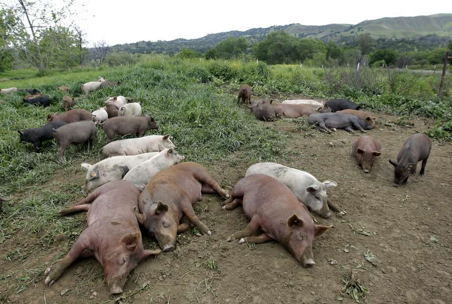 Pigs are raised without antibiotics at Riverdog Farm in Guinda (Yolo County). Photo: Paul Chinn, The Chronicle