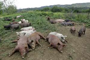 Young pigs rest in a pasture at the certified-organic Riverdog Farm in Guinda, Calif. on Friday, April 25, 2014. Proposed state legislation would ban the sale of meat and poultry raised on non-therapeutic antibiotics.