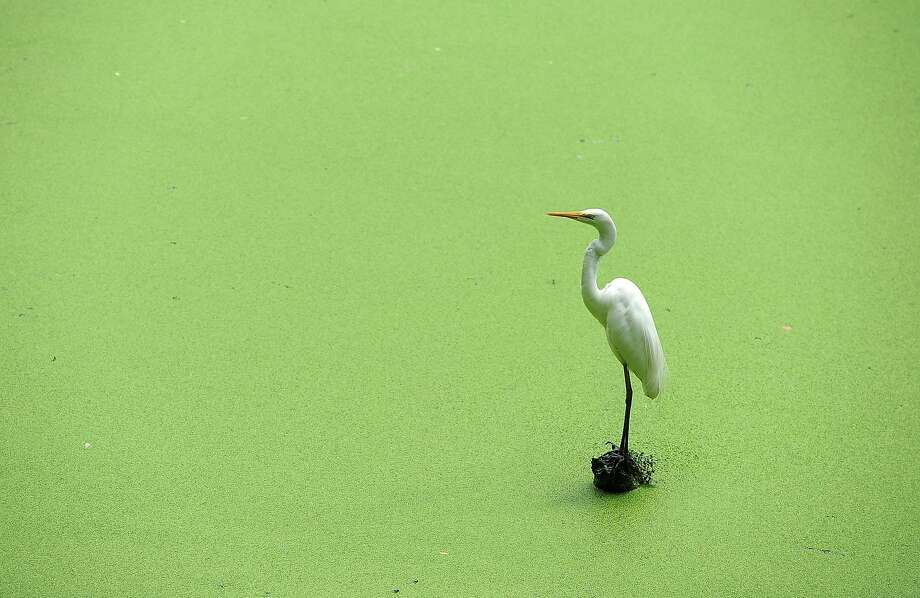 Spring is here, and everything's turning green, including the ponds: An egret perches over an 