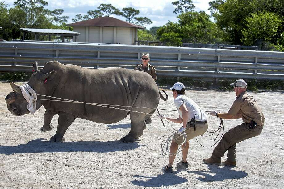Prepping the patient for surgery: Zookeeper Jen Rucker (left) and assistant curator Kevin Morris hang on tight after Lissa was injected with narcotics ahead of a cancer operation at Lion Country Safari in Loxahatchee, Fla. Doctor need to remove a tumor from the 3,500-pound white rhino's horn and inject chemotherapy drugs. Photo: Greg Lovett, Associated Press