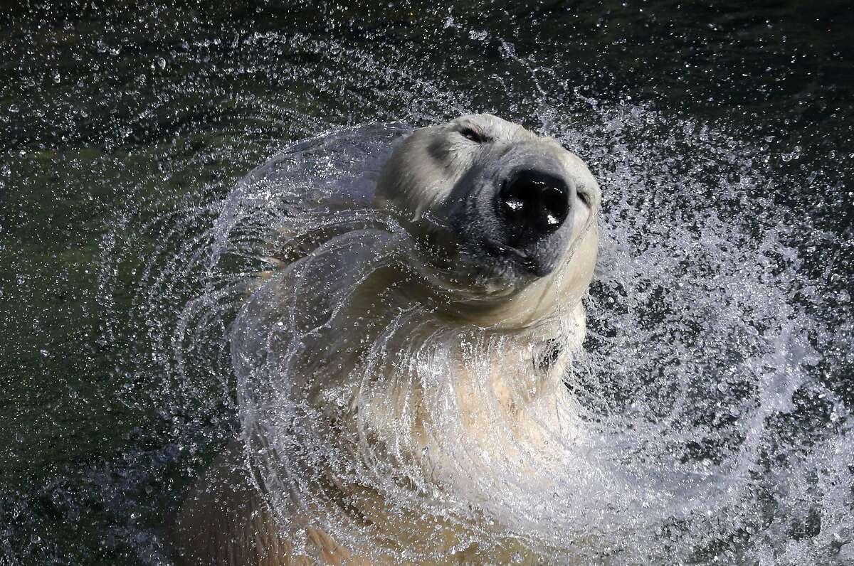 Shake, splatter and growl:Uslada the polar bear dries her fur at the Leningrad Zoo in St. Petersburg.